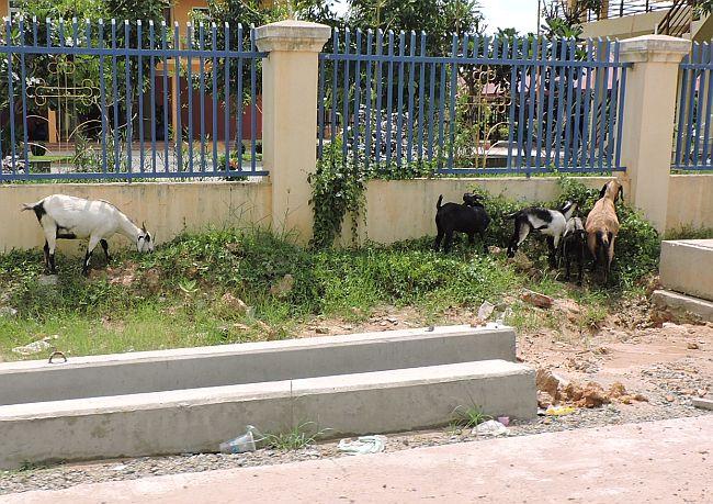 Goats on Phnom Penh street